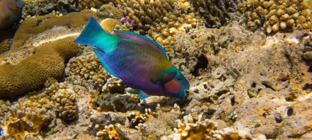 parrot-coral
