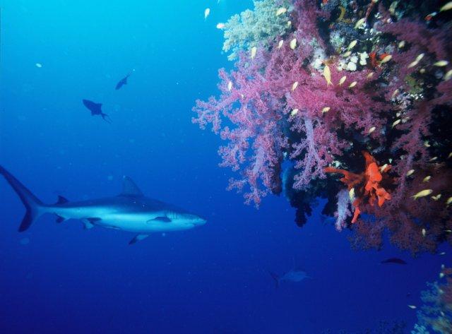 gray-reef-shark-586368_1920