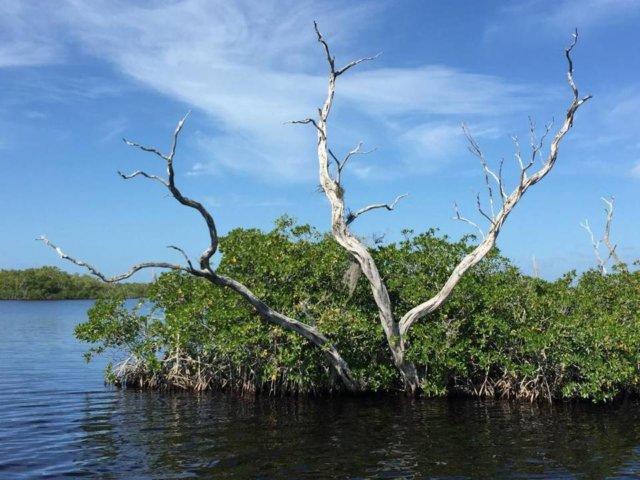 morgan-mangrove
