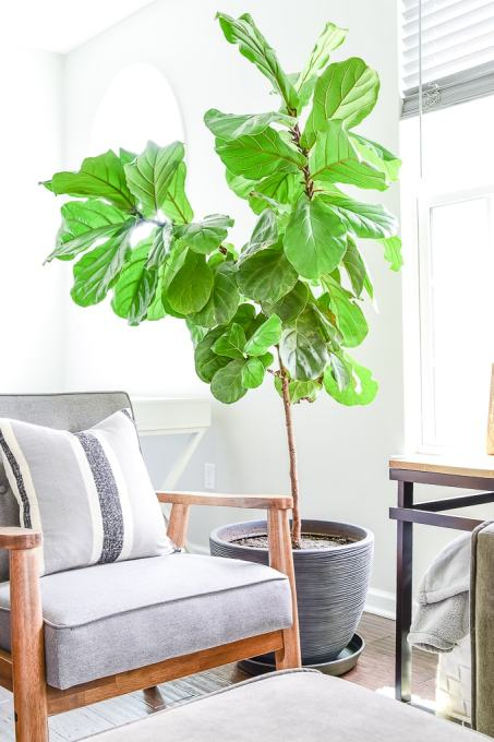 large fiddle leaf fig tree in black modern planter