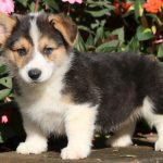 Pembroke Welsh Corgi Puppies For Sale Puppy Adoption Keystone Puppies