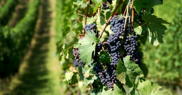 wine grapes - living from a place of rest