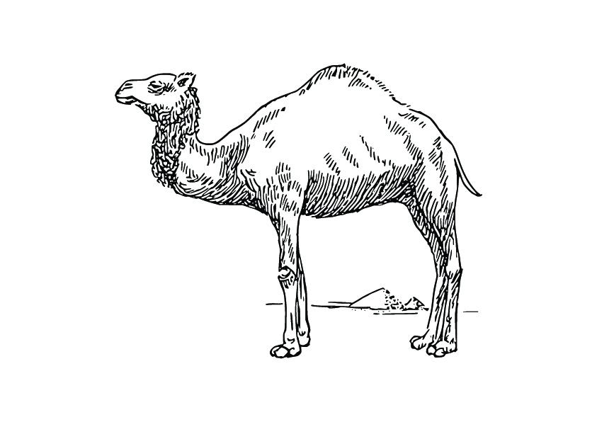 דף צביעת גמל