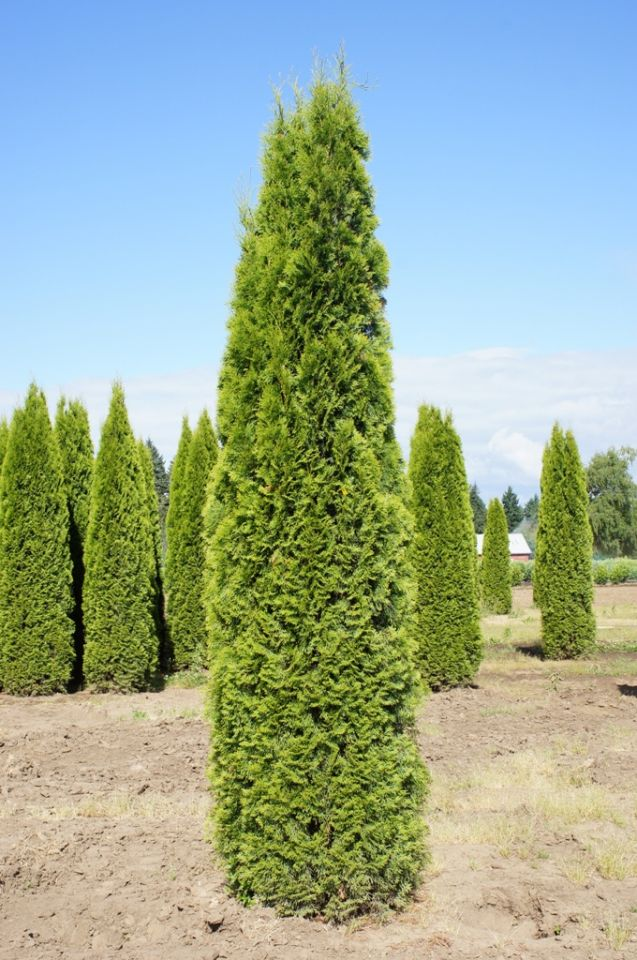 KG Farms INC  Thuja occidentalis Emerald