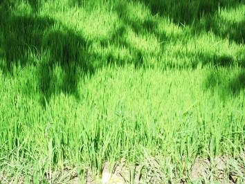 01-08-13V. chandpur Dhan2