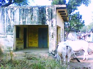 मुगौरा गांव के पंचायत भवन मा बांधे बैल
