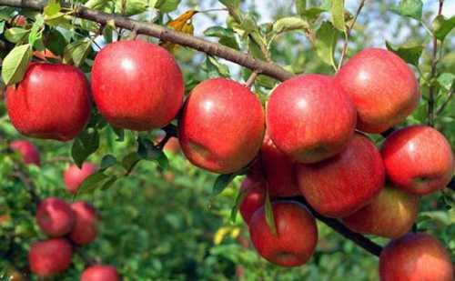 सरकार ने सेब के प्रापण के लिए मण्डी मध्यस्थता योजना की घोषणा की
