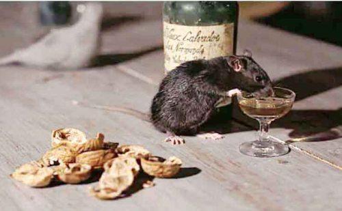 OMG !! चूहों को लगा शराब का चस्का, पी गए इतनी शराब