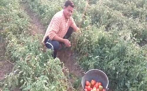 टमाटर की फसल सूखे के चलते किसान हुए परेशान