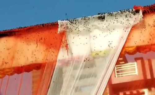 पंचकूला में छाया मक्खियों का कहर, कीटनाशकों का भी नहीं है असर