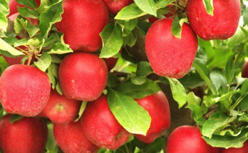 अमेरिकी के सेब पर बढ़ा आयात शुल्क, हिमाचल के सेब को अब मिलेंगे अच्छे दाम