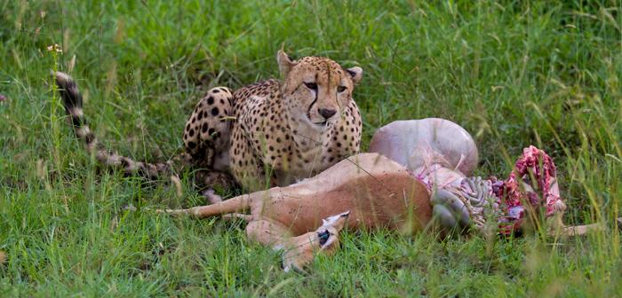 What Do Impalas Eat Cheetah The Garden Of Eaden What Do