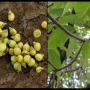 Mahua Flower and fruit