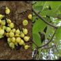 Mahua Flower and fruit