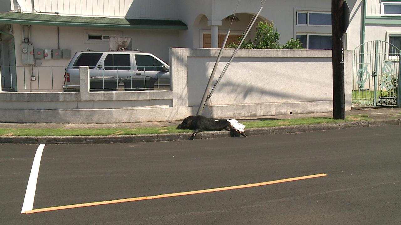 dead pig on palolo sidewalk_123904
