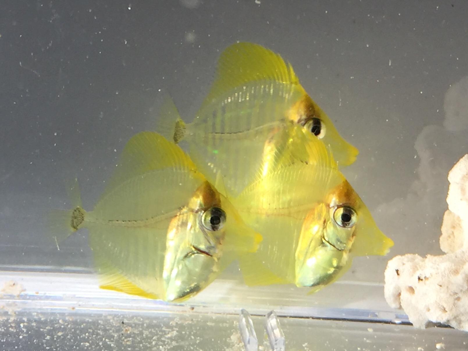 Yellow Tang d61 close_126374