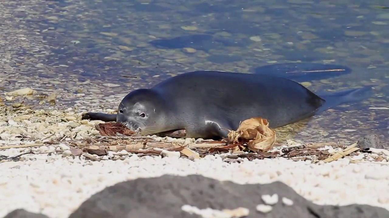 Monk Seal Death_128957