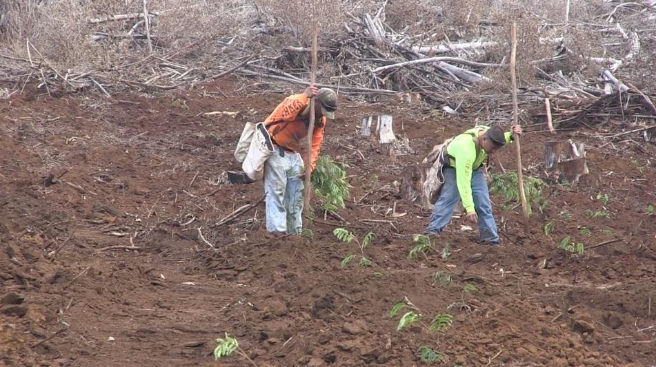 koa replanting kokee forest kauai-2_141424
