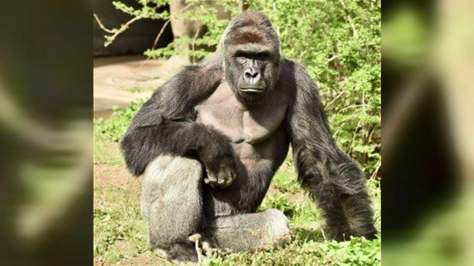 cincinnati zoo gorilla_160036