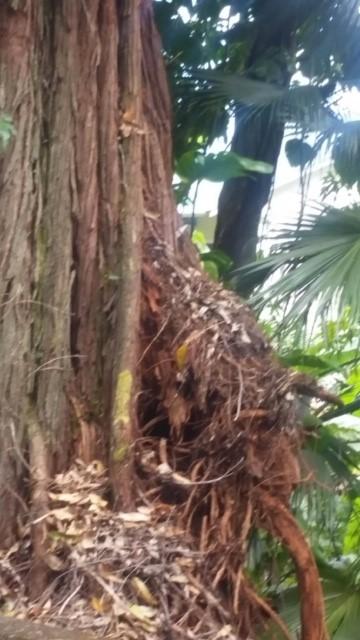 2019-05-30 Roots of leaning tree in Laupahoehoe_1559256891059.jpg.jpg