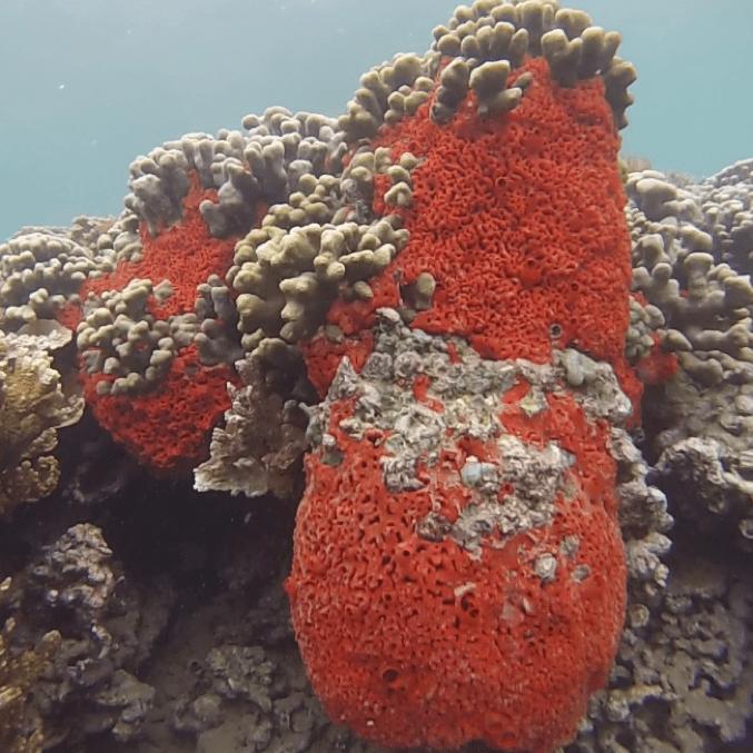 invasive sponge