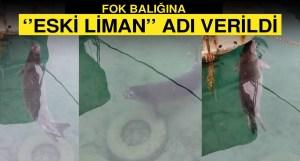 Η απειλούμενη μεσογειακή φώκια μοναχού εμφανίστηκε στο Yenierenköy