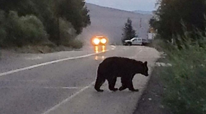 Bear in Crowley