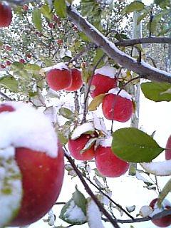 雪会いりんご