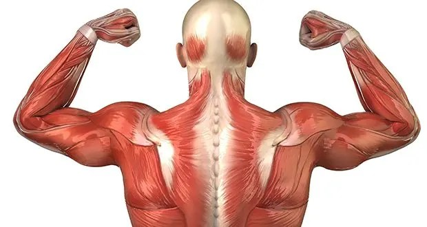 25 kickass and interesting facts about muscles | kickassfacts, Muscles