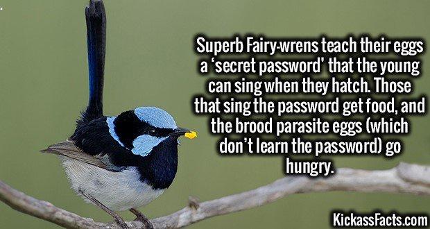 1961 Superb Fairy-wrens