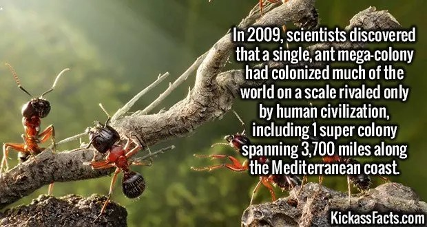2245 Ant Mega-Colony-In 2009, scientists discovered that a single, ant mega-colony had colonized much of the world on a scale rivaled only by human civilization, including 1 super colony spanning 3,700 miles along the Mediterranean coast.