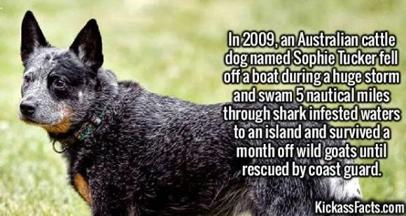 2396 Sophie Tucker Dog-In 2009, an Australian cattle dog named Sophie Tucker fell off a boat during a huge storm and swam 5 nautical miles through shark infested waters to an island and survived a month off wild goats until rescued by coast guard.