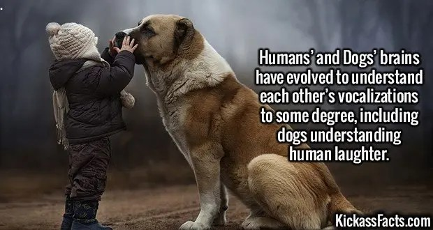 2404 Humans and Dogs-Humans' and Dogs' brains have evolved to understand each other's vocalizations to some degree, including dogs understanding human laughter.