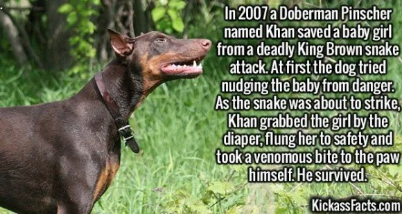 2632 Doberman Pinscher-In 2007 a Doberman Pinscher named Khan saved a baby girl from a deadly King Brown snake attack. At first the dog tried nudging the baby from danger. As the snake was about to strike, Khan grabbed the girl by the diaper, flung her to safety and took a venomous bite to the paw himself. He survived.