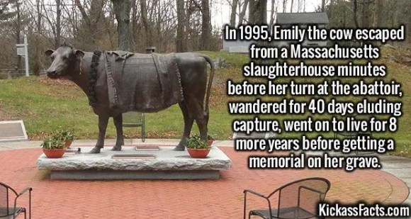 2480 Emily the cow-In 1995, Emily the cow escaped from a Massachusetts slaughterhouse minutes before her turn at the abattoir, wandered for 40 days eluding capture, went on to live for 8 more years before getting a memorial on her grave.
