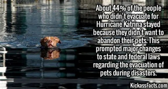 2586 Hurricane Katrina Pets-About 44% of the people who didn't evacuate for Hurricane Katrina stayed because they didn't want to abandon their pets. This prompted major changes to state and federal laws regarding the evacuation of pets during disasters.