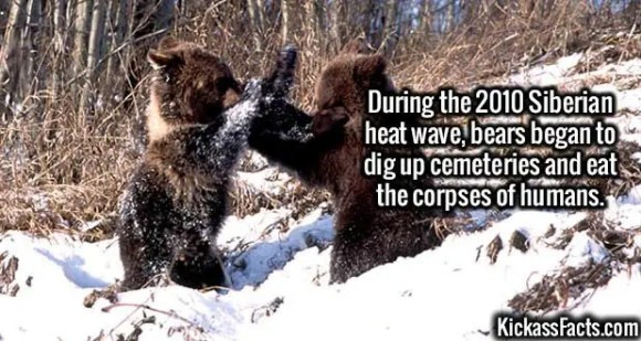 2612 Siberian bears-During the 2010 Siberian heat wave, bears began to dig up cemeteries and eat the corpses of humans.