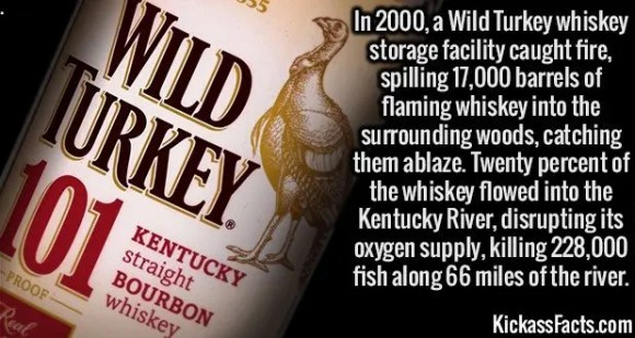 2637 Wild Turkey Fire-In 2000, a Wild Turkey whiskey storage facility caught fire, spilling 17,000 barrels of flaming whiskey into the surrounding woods, catching them ablaze. Twenty percent of the whiskey flowed into the Kentucky River, disrupting its oxygen supply, killing 228,000 fish along 66 miles of the river.
