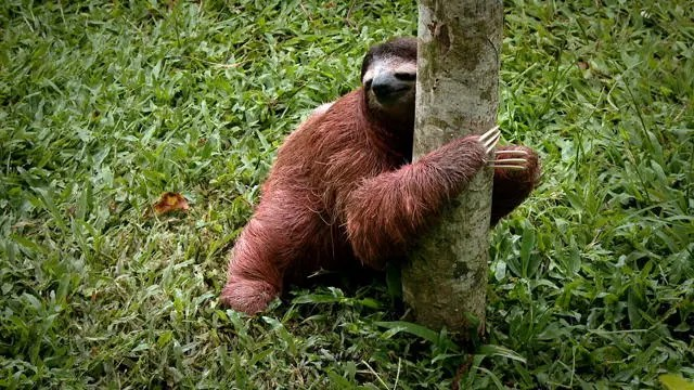 Sloth Facts - 28 Fascinating Facts About Sloths | KickassFacts.com