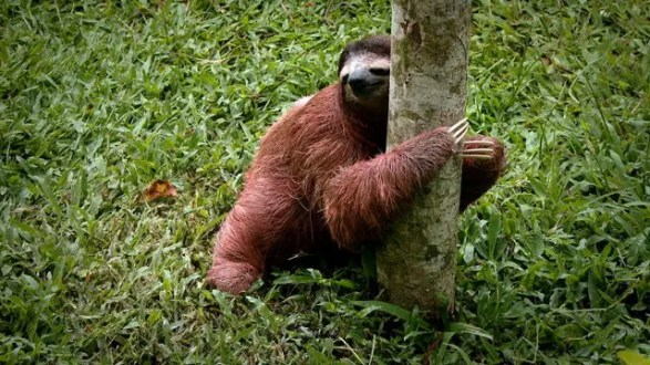 sloth-pooping
