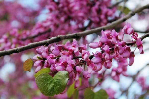 Cercis siliquastrum, commonly known as Judas tree | Kicking Back the Pebbles