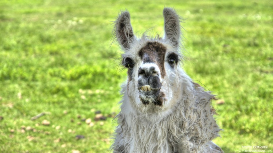 buck-toothed-llama-8-6-2013_hd-720p