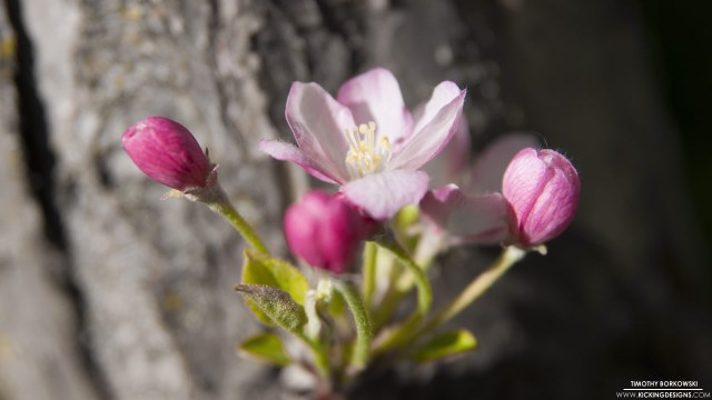 crab-apple-blossom-6-15-2014