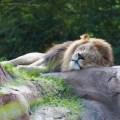 lazy-lion-9-3-2014