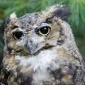 great-horned-owl-8-1-2015