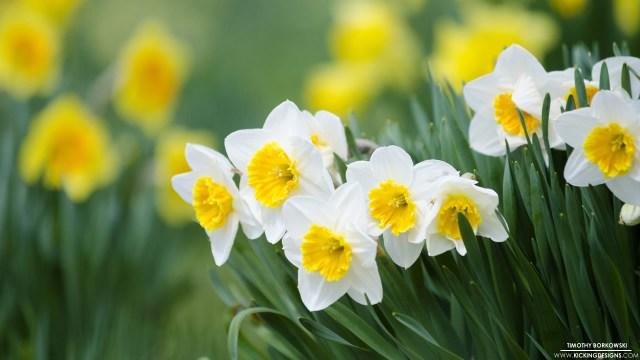 daffodils-4-14-2016