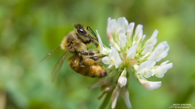 honey-bee-5-7-2016