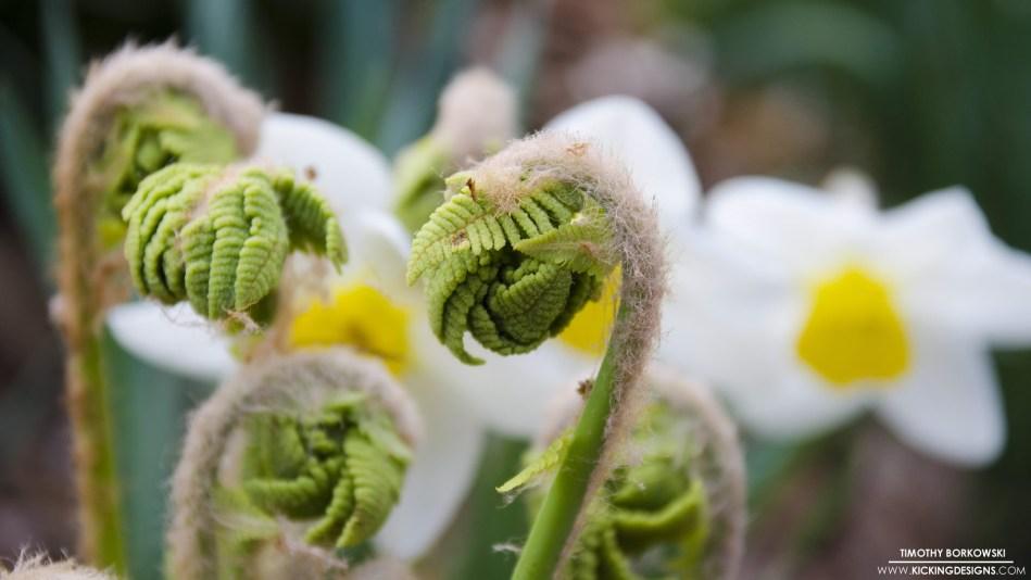 ferns-and-daffodils-5-19-17