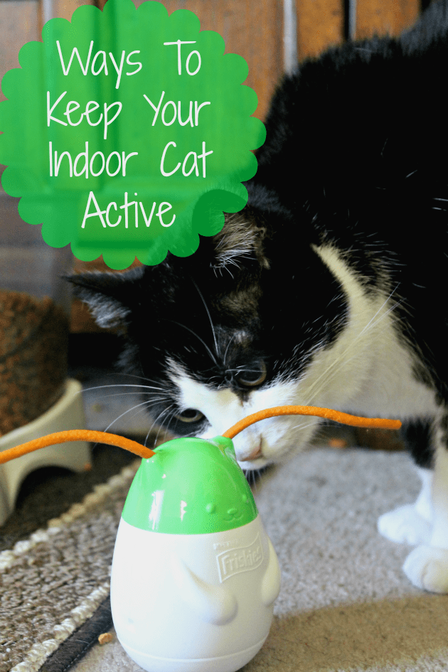 Two of the Ways I Keep my Indoor Cats Active and happy includes feeding them Purina food, treats and toys from Walmart #ad #SeasonsTreatings