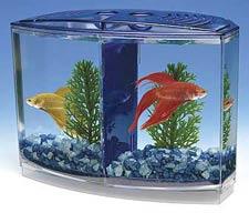 betta-fish-4